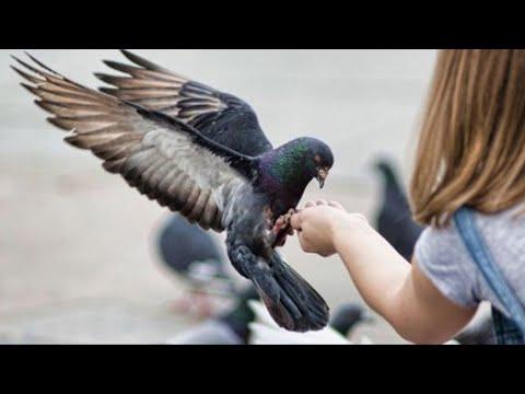 Вопрос: Почему мы никогда не видим птенцов голубей. Они их прячут?