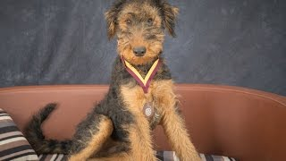 Video Koby - Airedale Puppy - 3 Weeks Residential Dog Training download MP3, 3GP, MP4, WEBM, AVI, FLV Desember 2017