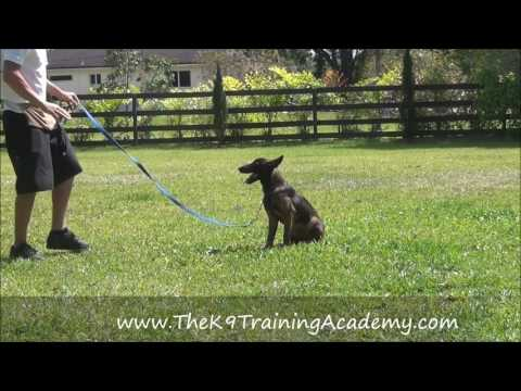 Basic Obedience - Keylime - The K9 Training Academy