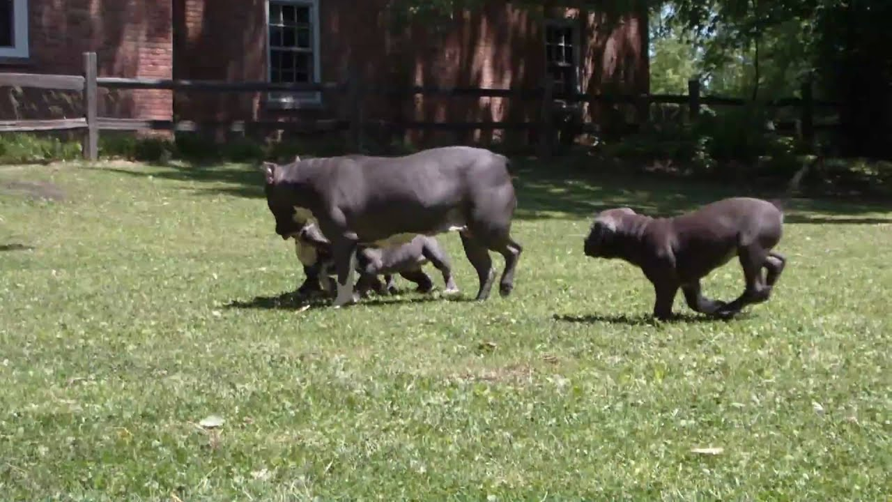 BLUE NOSE AMERICAN BULLY PITS!!! FOR SALE!!! - YouTube