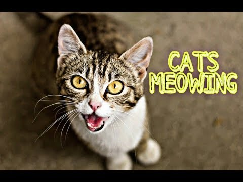 Funny Cats and Kittens Meowing and Talking Compilation