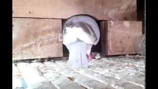 csrs burung merpati memberi makan anaknya