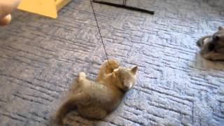 Котята для авито