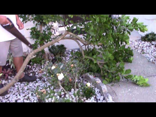 Quanh nhà ở Mỹ MVI0067: Chặt bỏ cây bưởi trước nhà 20161213 (Garden)