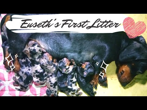 Euseth the Dachshund Giving Birth to 6 Puppies