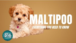 Maltipoo Dog Breed Guide | Dogs 101  Maltipoo