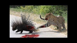леопард атака дикобраз, Серьезная раненая битва, буйвол, черный медведь