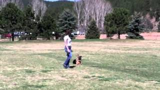 Puppy Obedience Training - Knute 6 Month Old German Shepherd