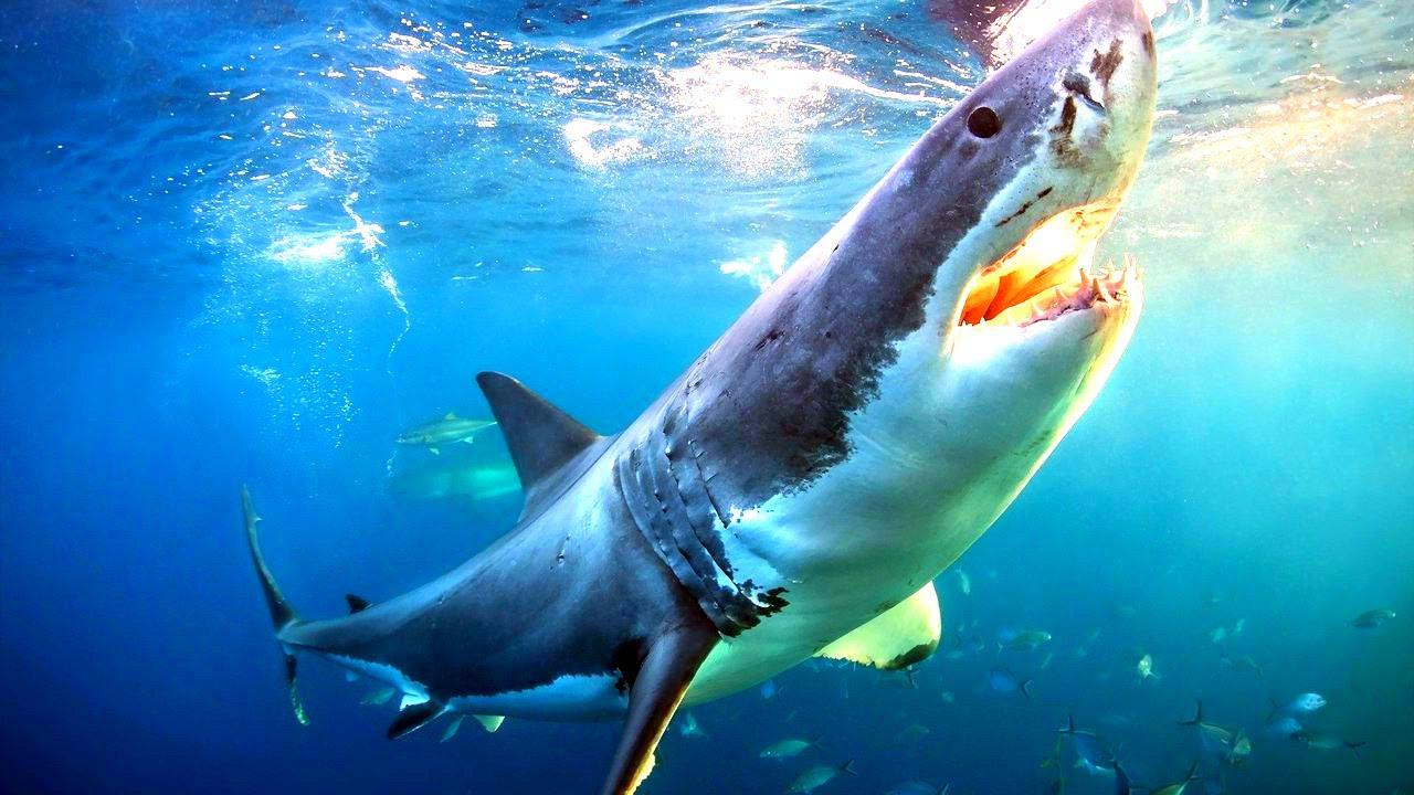 К чему снится акула: толкование снов о морских хищниках разными сонниками изоражения