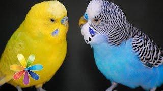 Как выбрать говорящего попугая - Все буде добре - Выпуск 453