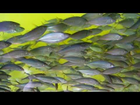 釣掘り・のませ釣り用 活シマアジ入荷 1匹 150円