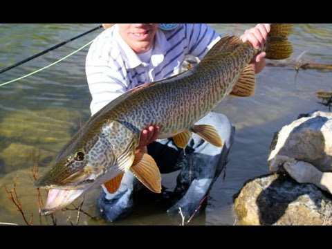 Huge Tiger Muskie On The Fly