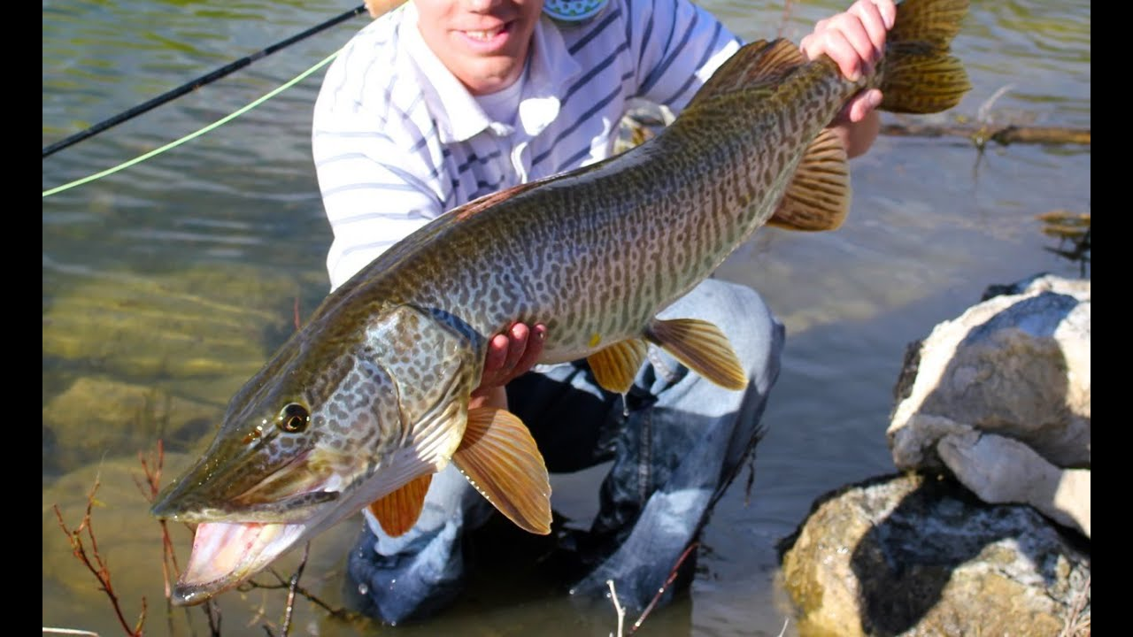 Huge tiger muskie on the fly youtube for Musky fly fishing