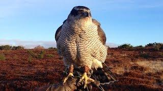 Goshawks - Hunting Pheasants In Angus, Scotland