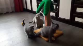 Клубные шотландские котята.