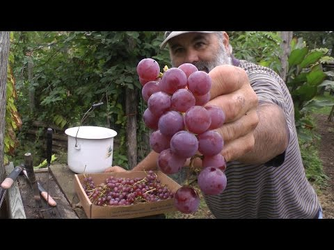 Harvesting October Grapes!