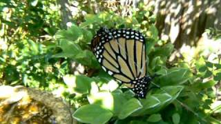 Monarch Butterfly Caught In A Spider's Web.mov