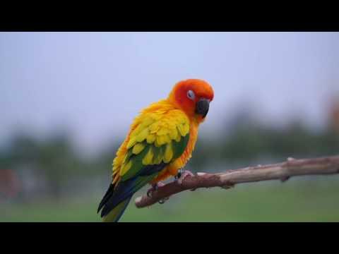 Sun Conure Parrot is Colorful Friend นกบินสิงสนามหลวง