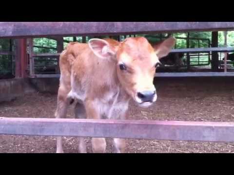 ジャージー牛のかわいい子牛
