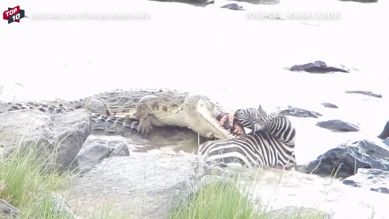 Download Top Deadly Crocodile vs Zebra Moments (bloody) *Graphic Content*