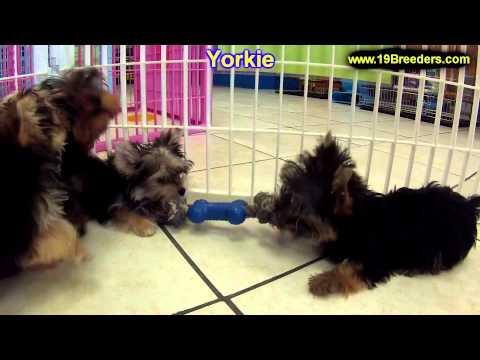 yorkshire-terrier,-puppies-for-sale,-in,-kent,-washington,-wa,-bainbridge-island,-mercer-island,-map