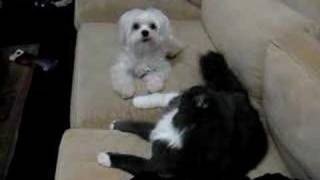 Cat And Dog Maltese Fighting