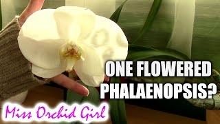 Amazing one flowered Phalaenopsis Orchid! Is this real?