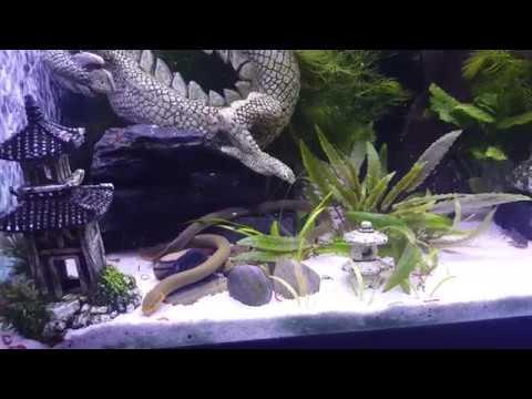 Sofishticated Ropefish Tank!