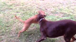 Doberman Pinscher Playing   Gypsy Stoner And Gunther
