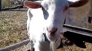 Зааненские козы, камолые.