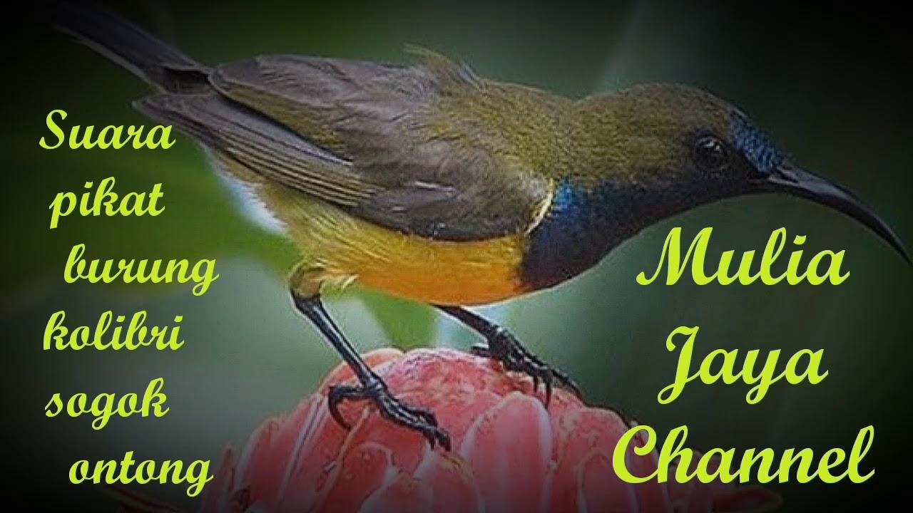 Suara Pikat Burung Kolibri Endkang Youtube