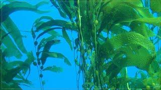#kelp forest 01 #성게는 파괴력 있는 소비…