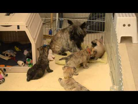 Cairn terrier Cato with her seven pups of almost 8 weeks
