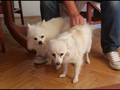 When Your German Spitz Fall In Love...