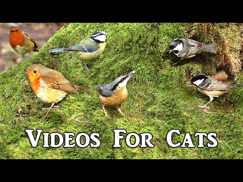 Bird Sounds for Cats Extravaganza : Videos for Cats to Watch -  Birds in The Secret Forest