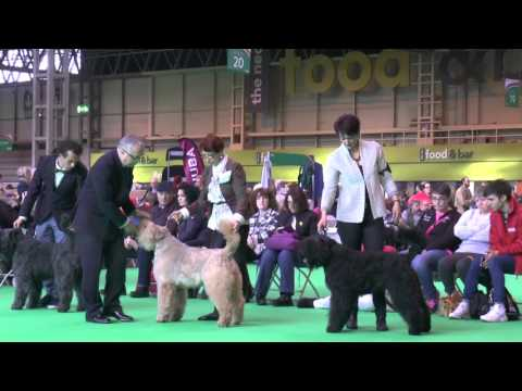 Open Bitch, Crufts 2016, Bouvier des Flandres, show