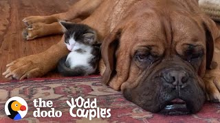 135Pound Mastiff Becomes Obsessed With A Tiny Kitten  | The Dodo Odd Couples