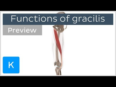 Functions of the gracilis muscle 3D (preview) Human Anatomy |Kenhub