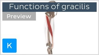 Functions of the gracilis muscle 3D (preview) - Human Anatomy  Kenhub
