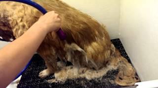Deshedding Morgan Wth Sav Ur Fur Bathing System At Itzaclip