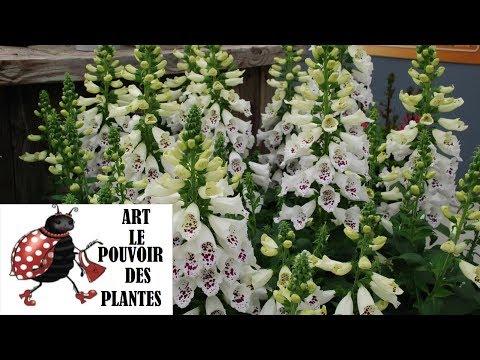 Jardinage: Digitale (Digitalis Dalmatian white): photos de fleurs et de plantes vivaces
