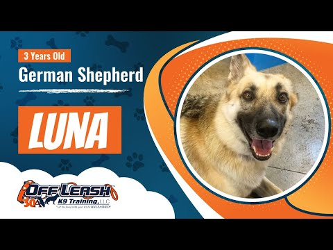 3-year-old-german-shepherd-luna-best-dog-trainers-florida