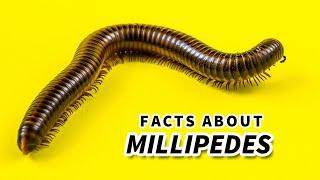 Millipede | Animal Fact Files