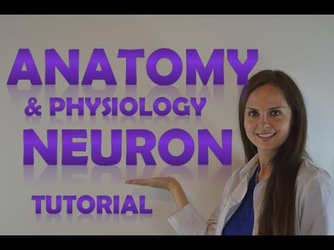 Anatomy & Physiology of a Neuron (Neural) Structure Review