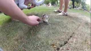 Сахарый поссум / Sugar glider / Petaurus breviceps / Possum