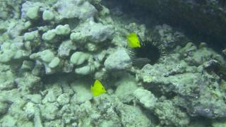 This is a diving video clip of Kewalo Pile, Hawaii. ハワイ・オアフ...