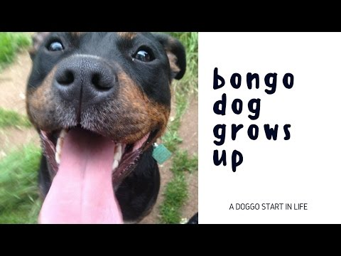 Bongo Dog grows up: Staffie X Rottie crossbreed dog grows up from 4 weeks to nearly 2 years