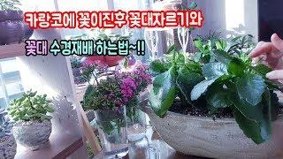 카랑코에꽃대자르는방법과 꽃대 수경재배법~!!