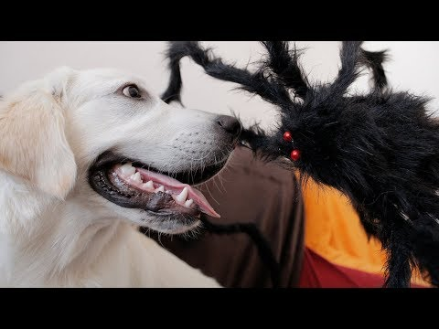 Golden Retriever Bailey vs Giant Spider Prank! Spider Attacks Dog