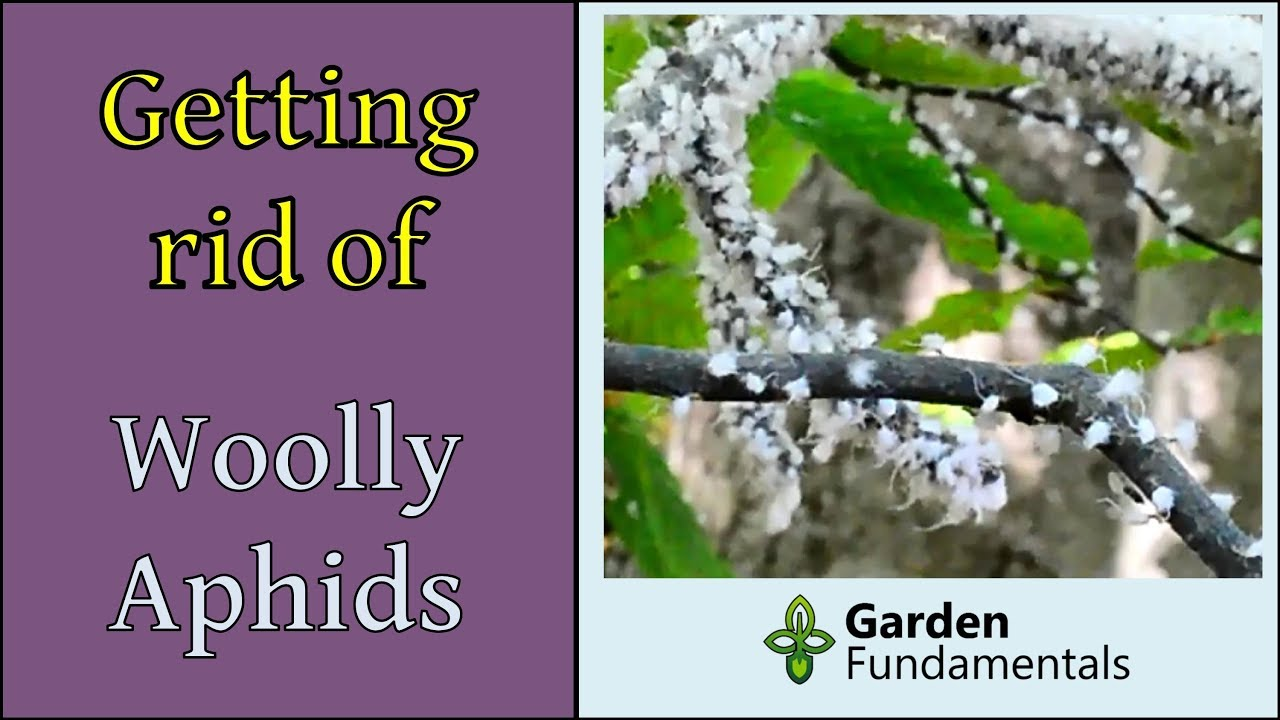 How to get rid of Woolly Beech Aphids (the easy way) - YouTube